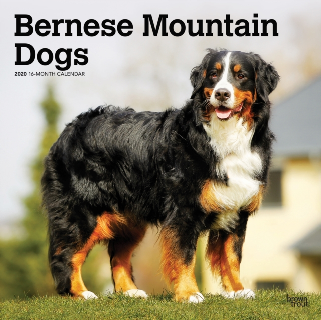 Bernese Mountain Dogs 2020 Square Wall Calendar
